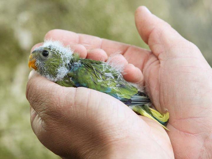 Elegant Parrot Chicks Hatched October 2011a