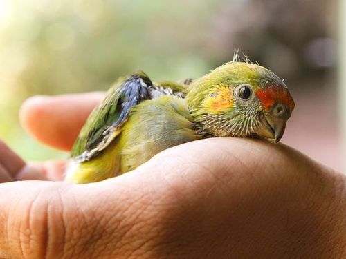 Purple Crowned Lorikeet hatched October 2b