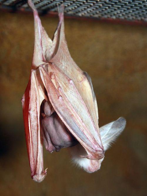 Ghost Bat Pup - Perth Zoo2