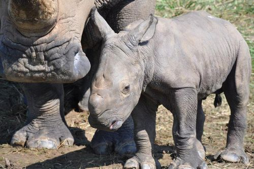 RHino-Baby---The-WIlds-3