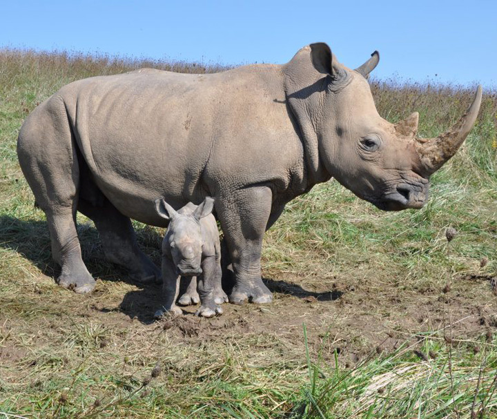 RHino-Baby---The-WIlds-4