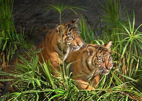 Sumatran-Tiger-Cubs-Stalking-11-22-11---001-Tad-Motoyama-