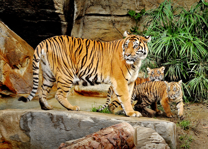 Mother-&-Sumatran-Tiger-Cubs-11-29-11--036-Tad-Motoyama