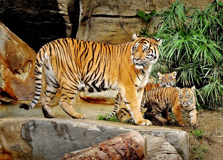 Mother-&-Sumatran-Tiger-Cubs-11-29-11--036-Tad-Motoyama