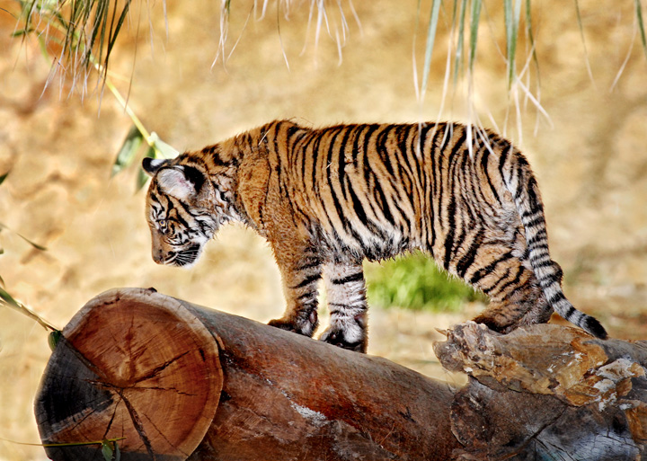Sumatran-Tiger-Cub-on-Log-12-5-11_Tad-Motoyama-0884