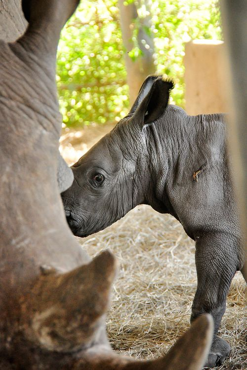 Baby-white-rhino-in-for-chow-press-release