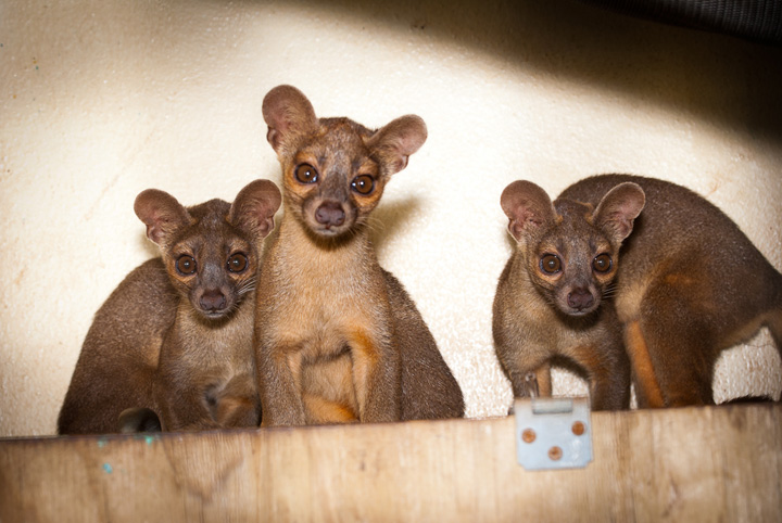 Houston-Zoo-Fossa-pups_2661