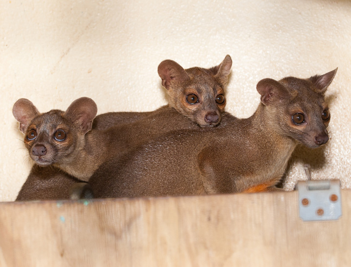 Houston-Zoo-Fossa-pups_2666
