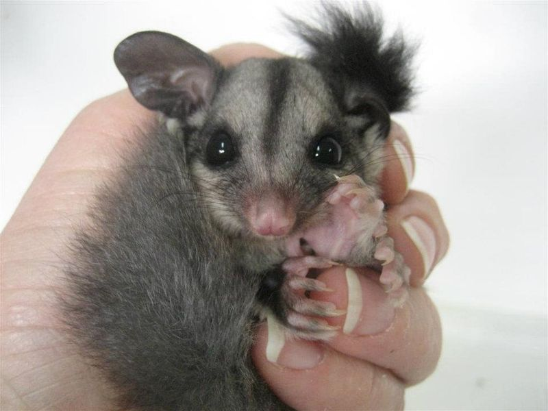 Sugar_Glider_Joey_ZooBorns4
