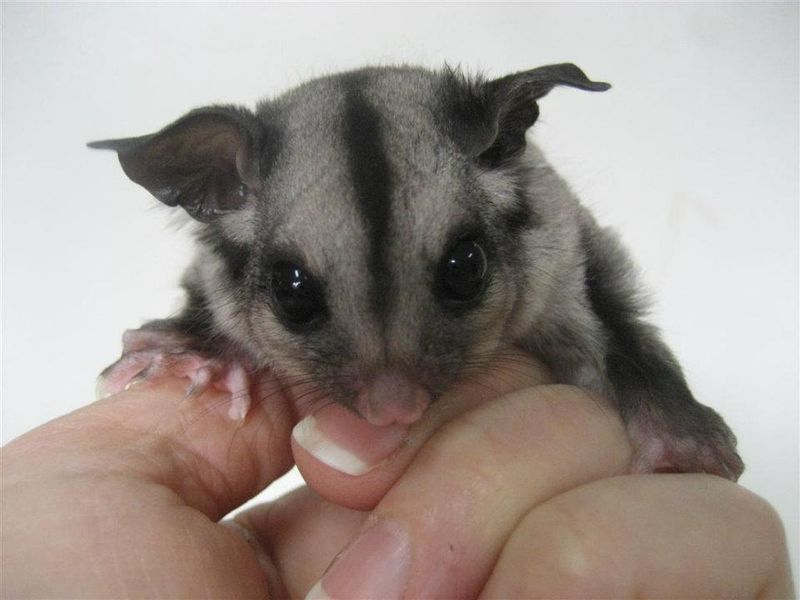 Sugar_Glider_Joey_ZooBorns3