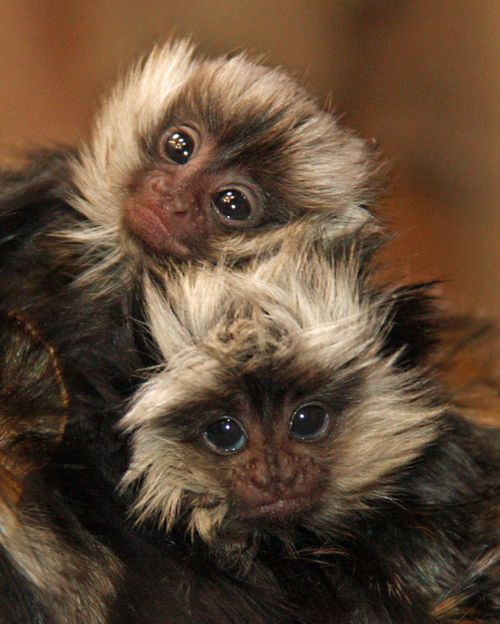 Little_Rock_Zoo_Geoffroy's_Marmosets