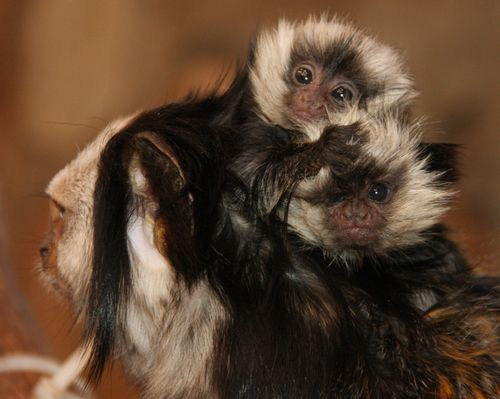 Little_Rock_Zoo_Geoffroy's_Marmosets_2