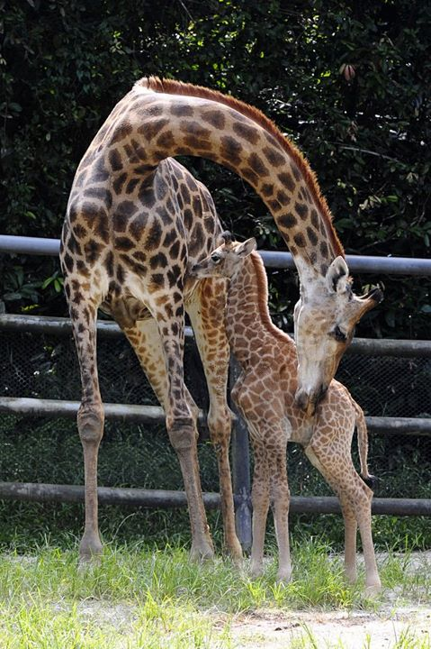 Singapore Wilidlife Park Giraffe Calf 3