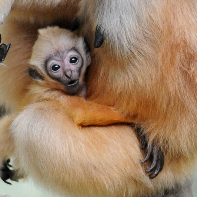 Brookfield-Zoo---White-Cheeked-Gibbon4