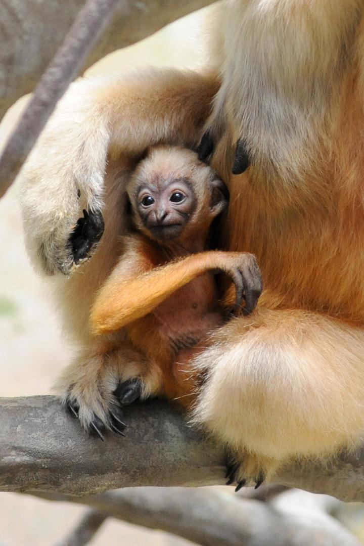 Brookfield-Zoo---White-Cheeked-Gibbon5