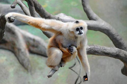 Brookfield-Zoo---White-Cheeked-Gibbon6