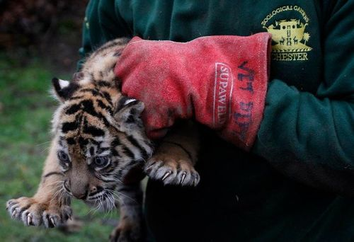 Chester Zoo Tiger Cub Check Up