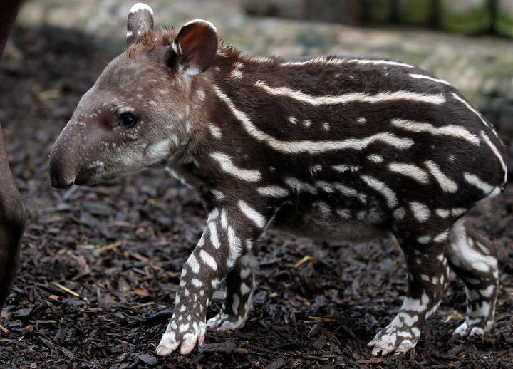Chester-Zoo-Tapir-Calf