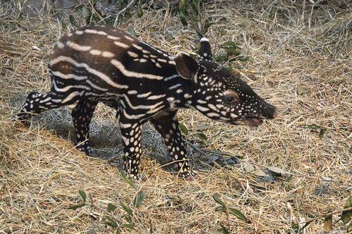 Tampa's-Lowry-Park-Zoo-Tapir-Baby2
