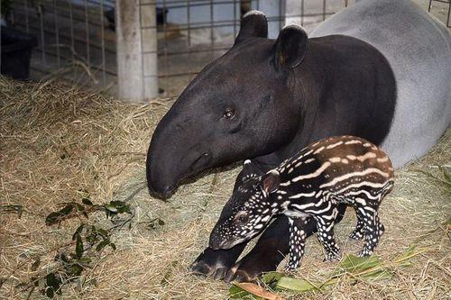 Tampa's-Lowry-Park-Zoo-Tapir-Baby