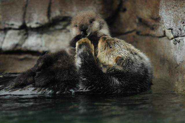 Seattle Sea Otter Pup2