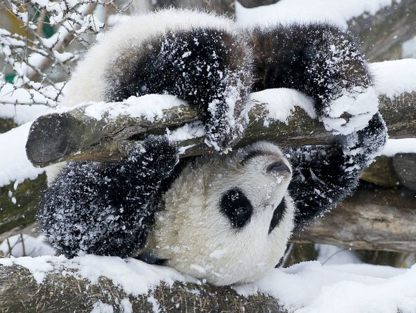 Update First Snow For Baby Panda Zooborns