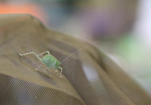 Greater angle-winged katydid2012_Saint Louis Zoo photo_sm
