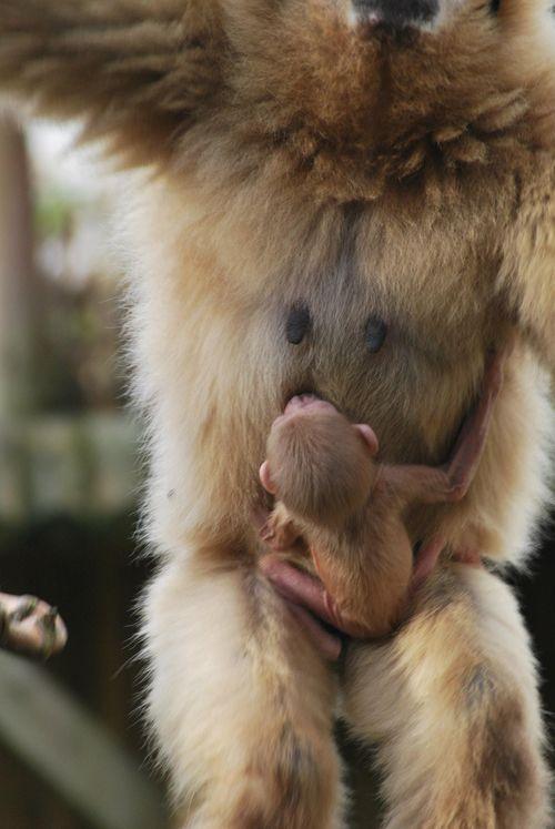 Lar Gibbon Paradise Wildlife Park2