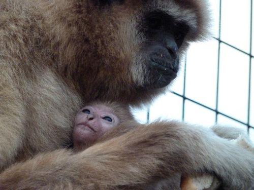 Lar Gibbon Paradise Wildlife Park5