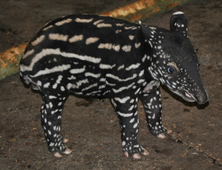 Tapir 3(c)