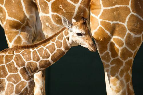 BG-Baby-Giraffe-6