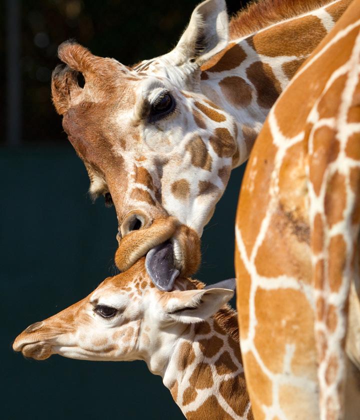 BG-Baby-Giraffe-8
