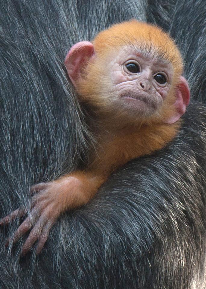 Trachypithecus-cristatus-Santa-Ana-Zoo---Ethan-Fisher-2012-(2)