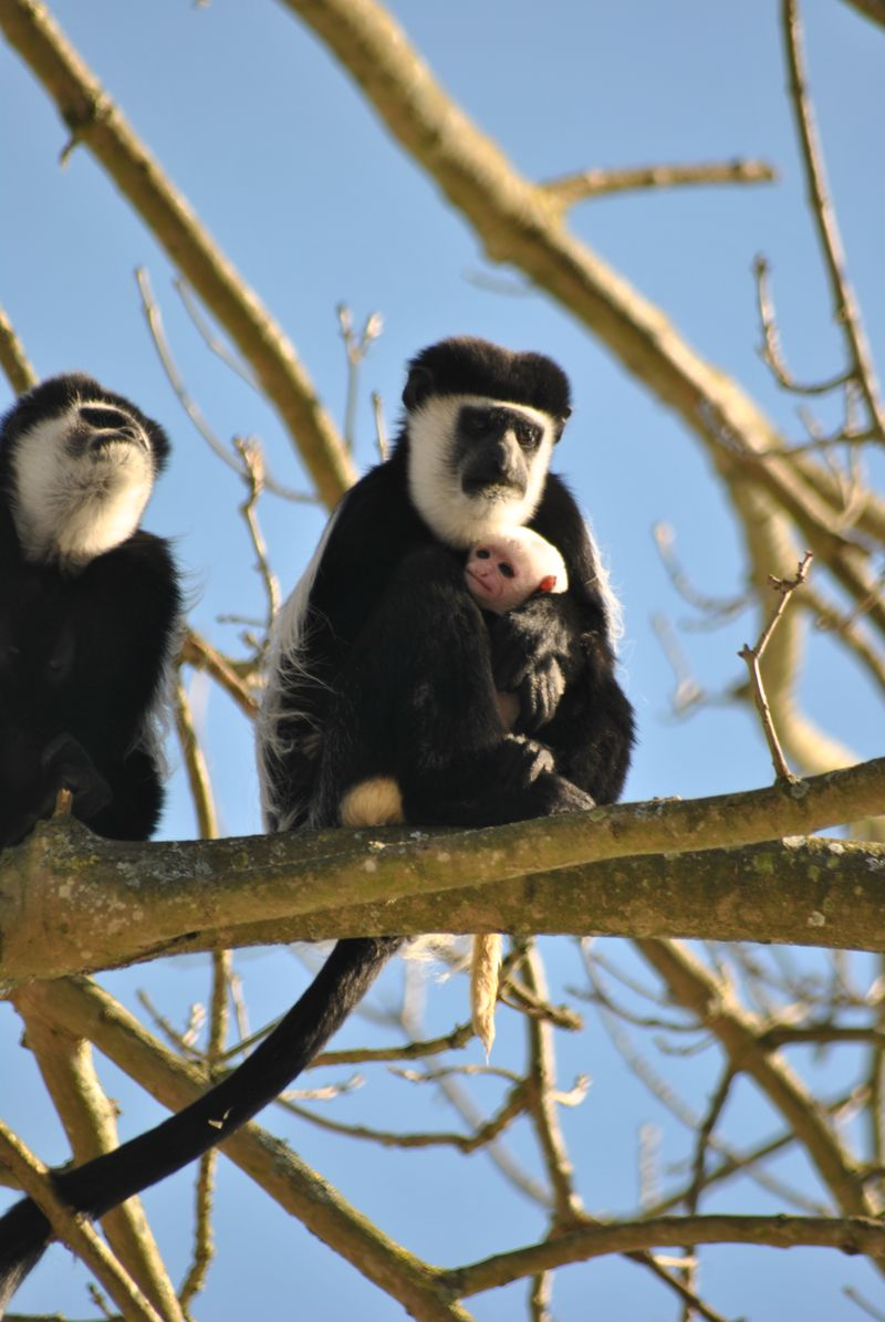Infant colobus c The Aspinall Foundation