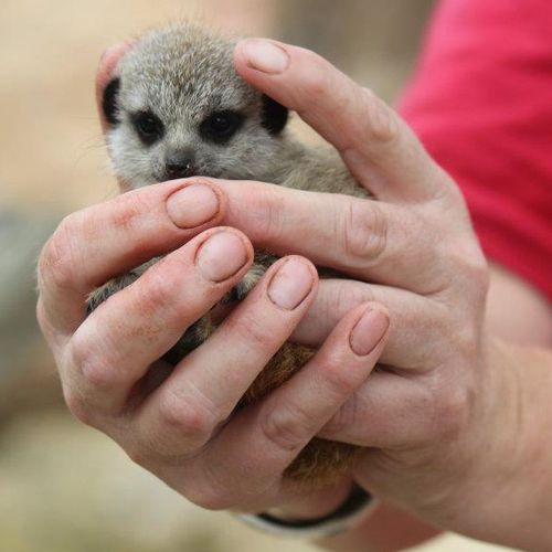 Wellington-Zoo-Meerkat-Pups