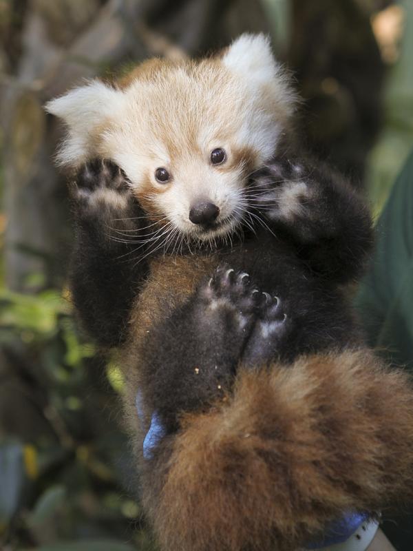 Red-panda06