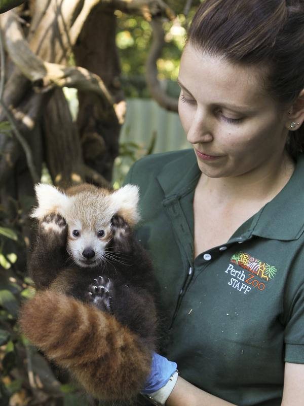 Red-panda02