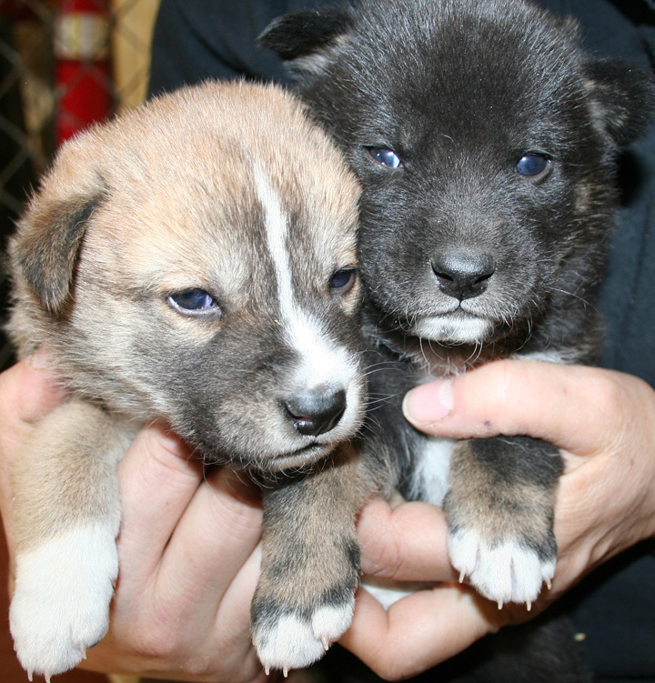 The_dingo_puppies_are_now_more_than_3_weeks_old