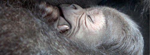 Artis Zoo Gorilla