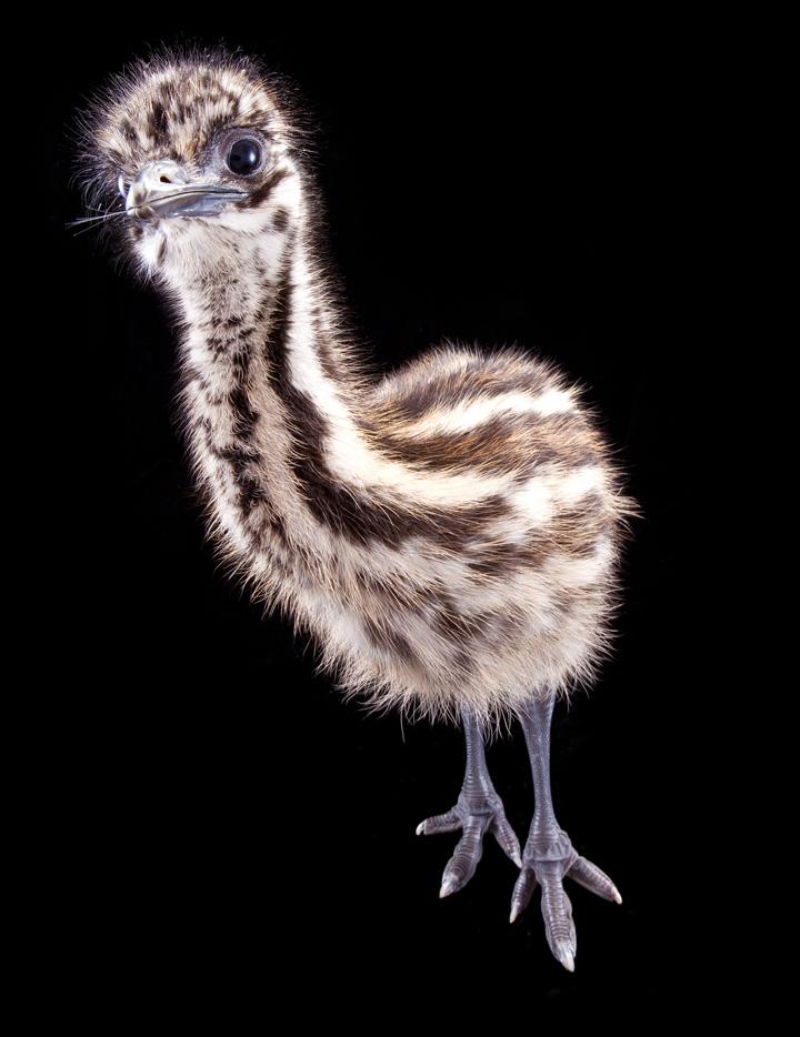 Emu-glamour3