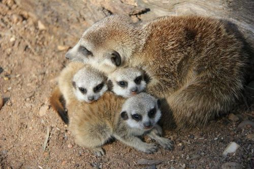 Meerkats_Taronga_8