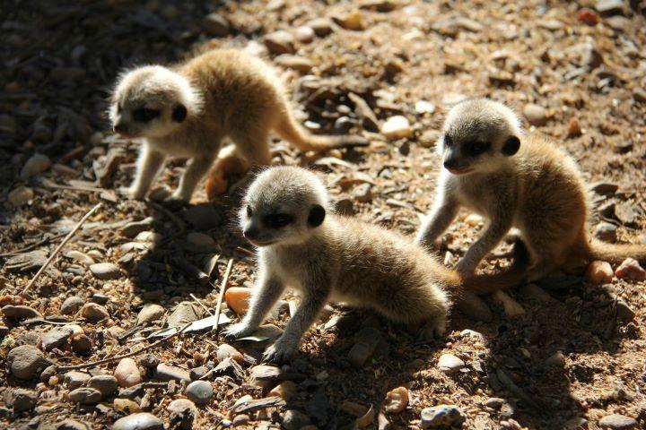 Meerkats_Taronga_9