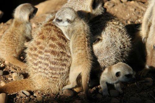 Meerkat_pups_11