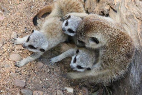 Meerkats_Taronga_2