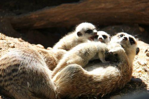 Meerkats_Taronga_5