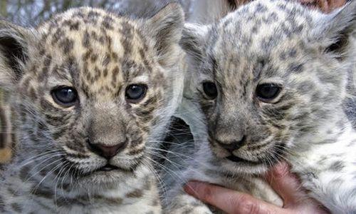 A Flurry of Furry: Rare White Twin Jaguar Babies