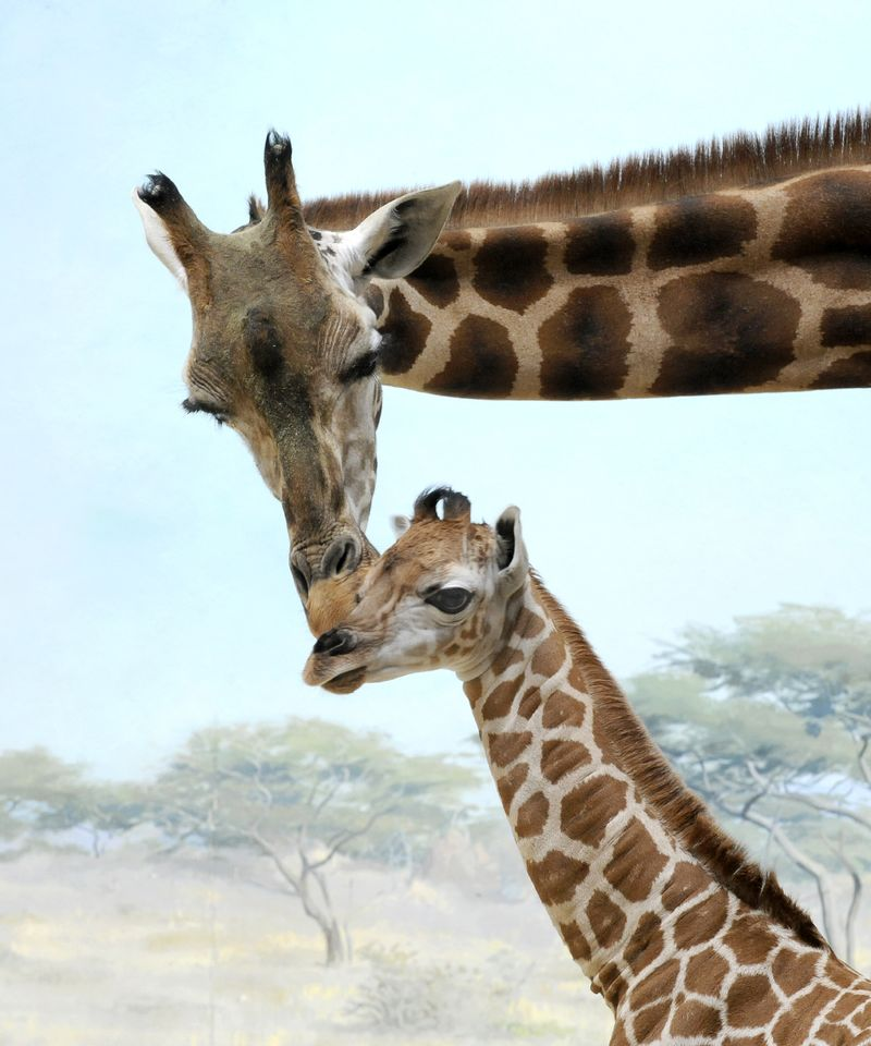_Julie Larsen Maher 1797 Reticulated Giraffe and Calf CGB BZ 03 20 12