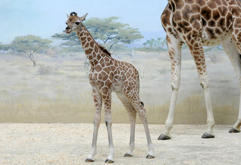 _Julie Larsen Maher 1748- Reticulated Giraffe and Calf CGB BZ 03 20 12