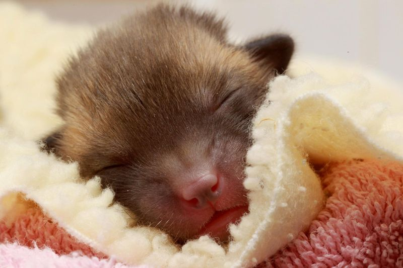 Pedro Fox Cub