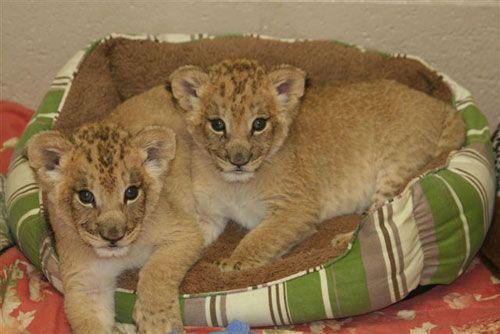 Mtai_serafina_african_lion_cubs1